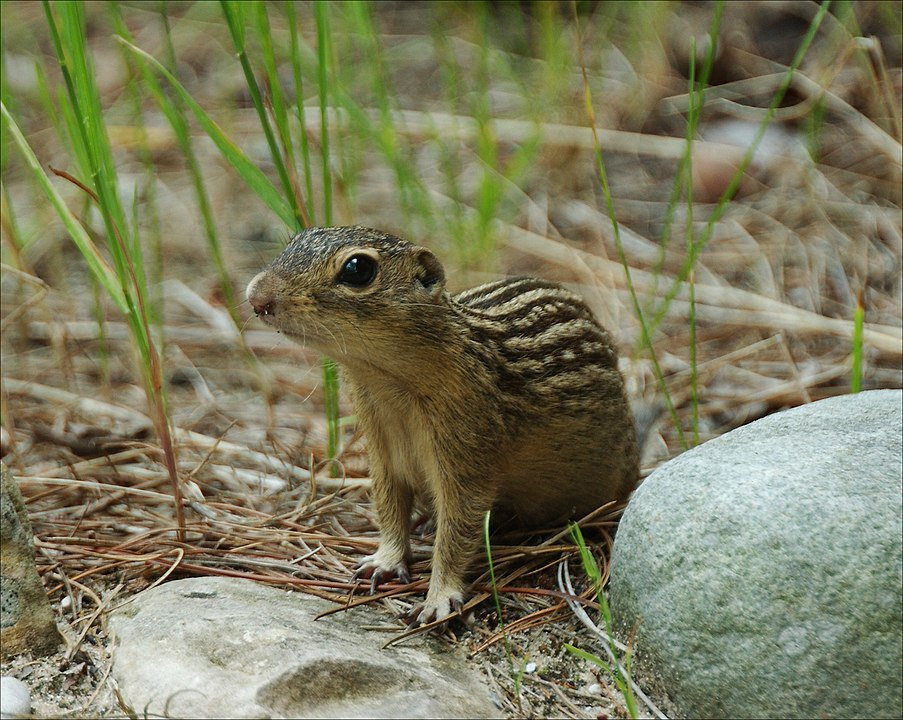 903px-Groundsquirrel4-300.jpg