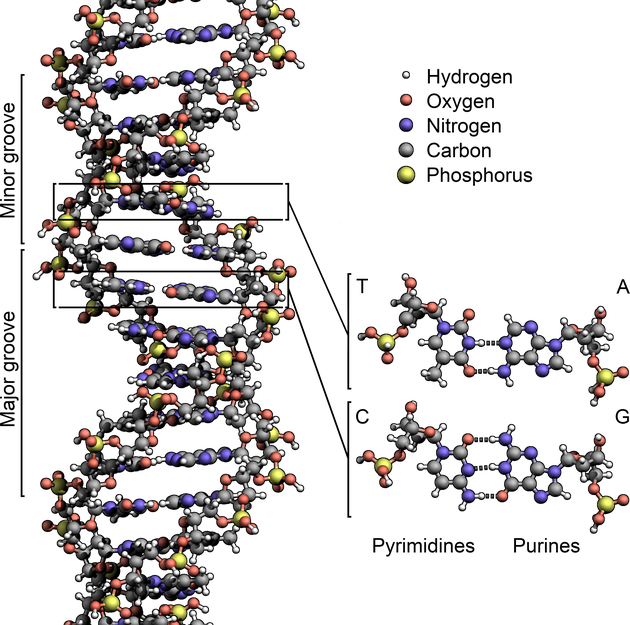DNA_Structure+Key+Labelled.pn_NoBB.png