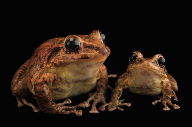 p170lo_Tabasara robber frog_NationalGeographic_2504687.jpg