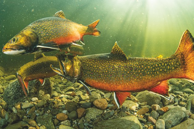 STOCK_MJ8778_MaineBrookTrout_FreshwaterLife_FreshwatersIllustrated.jpg