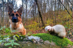 dog-ferret-friendship-nova-and-pacco-23-5dc29cba8d29e__700.jpg