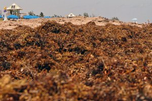 sargassum-on-delray-beach-in-south-florida-in-may-2019-1170x610.jpg