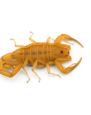 The Arizona bark scorpion (Centruroides sculpturatus)