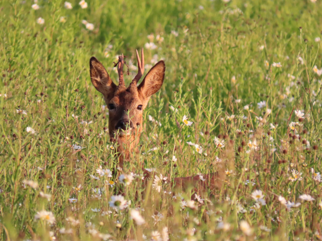 217.-Alex-White-Summer-Meadow-Deer-MPOY2020-small-16-18-yrs-768x576.png