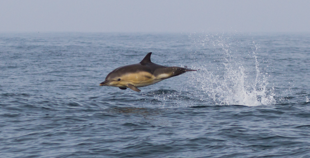 280.-Dan-Lettice-Breaching-Common-Dolphin-MPOY2020-small-768x393.png