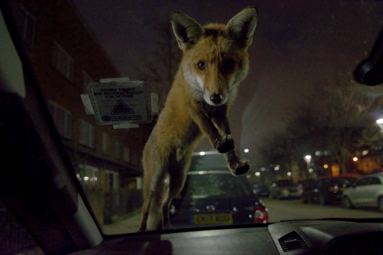 43.-Roger-Cox-Fox-on-windscreen-MPOY2020-MEMBER-768x511.png