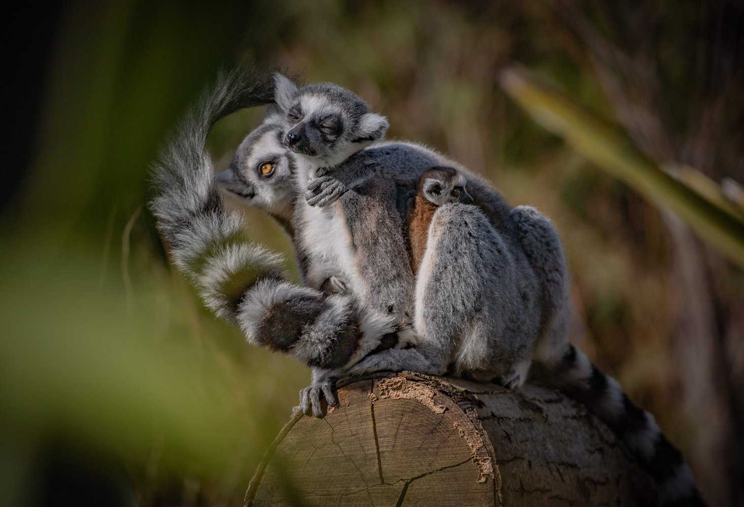 Rare-TWIN-baby-lemurs-born-at-Chester-Zoo-13-scaled.jpg