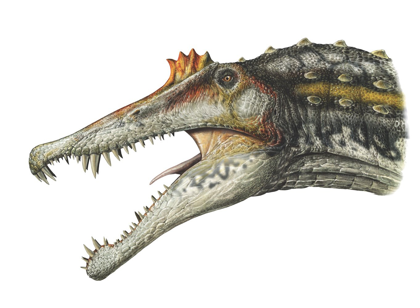 Spino mouth open_FINAL2.jpg