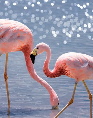 Andean Flamingos are eating at Lagoon Hedionda in Potosi, Bolivia. South America