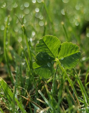 Clover and drops