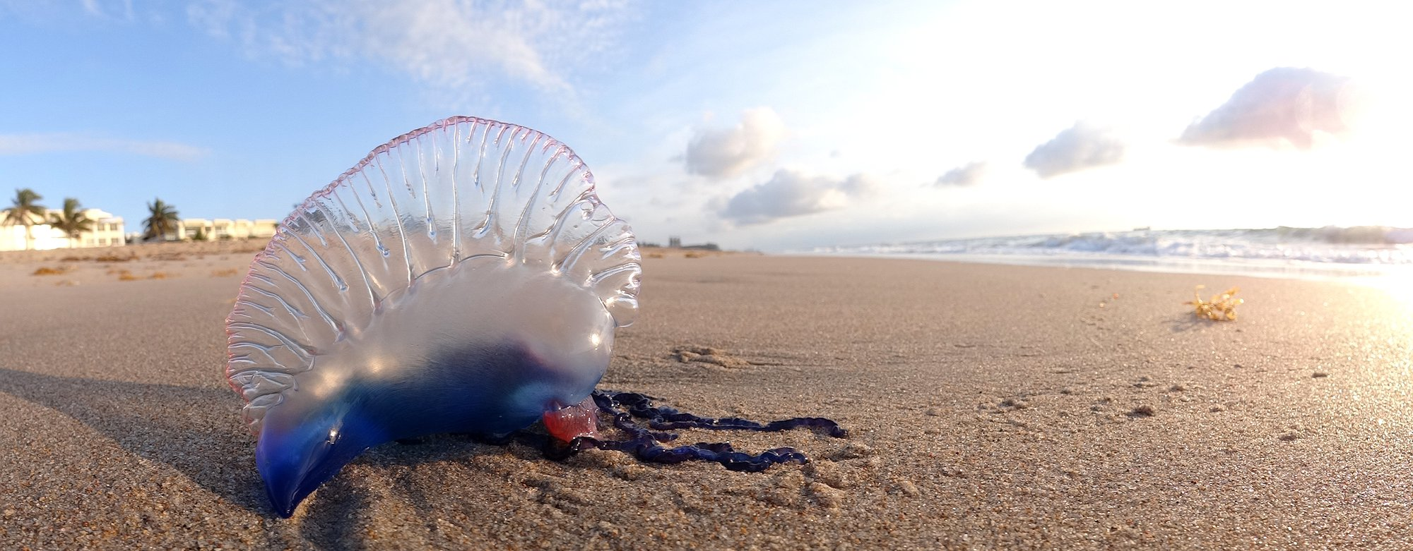 Portuguese_Man_o'_War_at_Palm_Beach_FL_by_Volkan_Yuksel_DSC05878.jpg