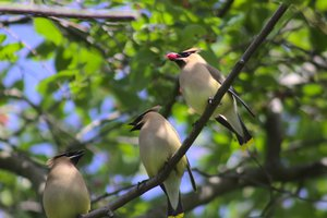 Cedar_Waxwings_Share_A_Berry.jpg