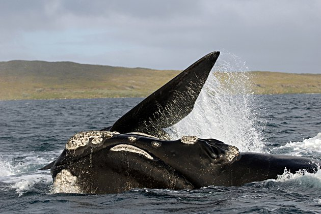 Through_DNA_fingerprinting_that_southern_right_whales_are_now_migrating_once_again_from_sub-Antarctic_islands_to_their_ancestral_calving_grounds_on_the_mainland_of_New_Zealand.jpg
