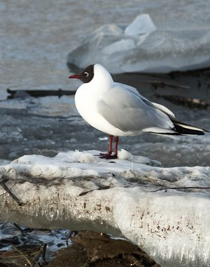 Black-headed gull on a dirty ice floe with snow near the river bank in spring
