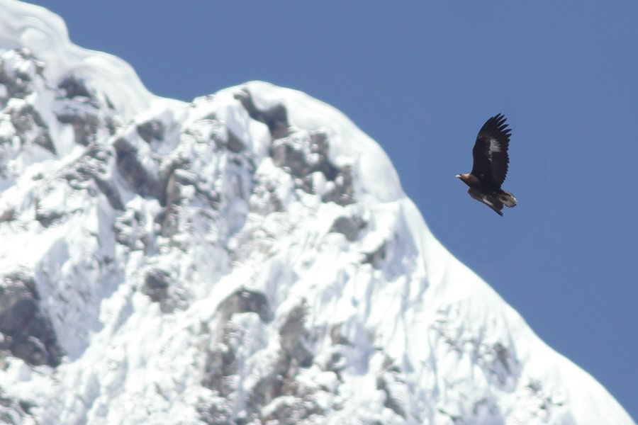 Golden_Eagle_from_Singba_Rhododendron_Sanctuary_in_North_Sikkim_India_02042019.jpg