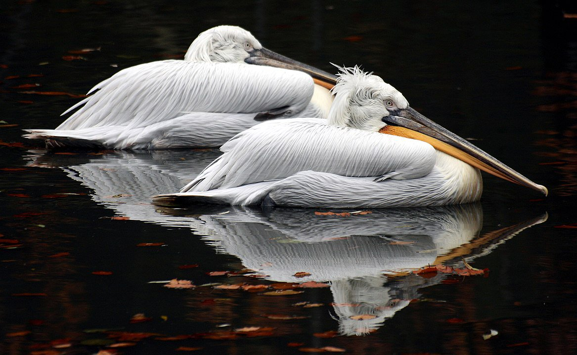 1167px-Pelicans_-_Colchester_Zoo.jpg