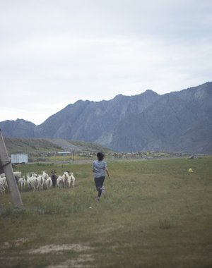 A nerd of goats in the Altai outback